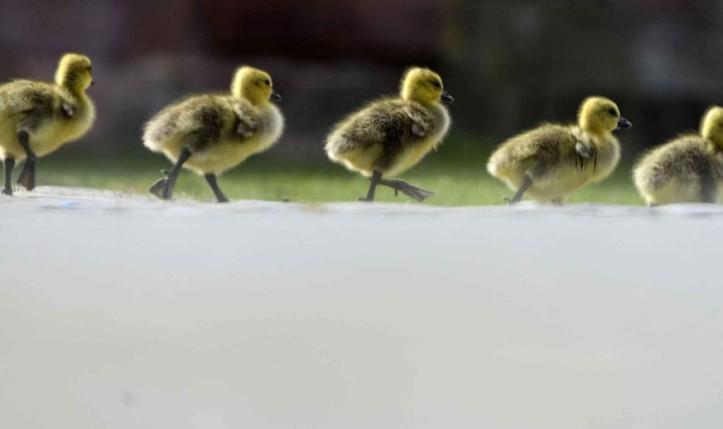 Promenade en rangs serrés pour ses petits poussins d'oie, à Francfort, en Allemagne